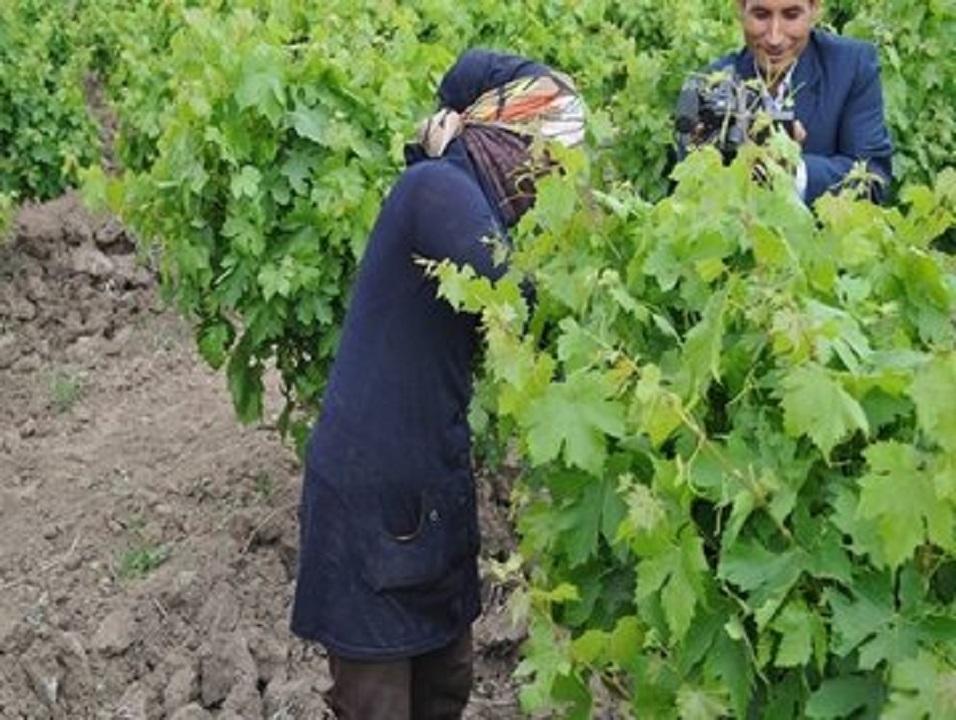 آغاز برداشت برگ انگور در خلیل آباد