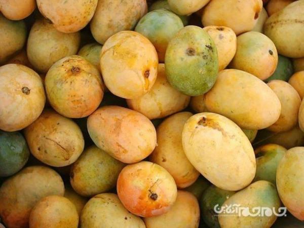 انبه ، میوه محبوب مردم جنوب